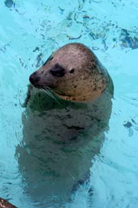 上越市水族博物館(5/2)=ゴマフのジョー
